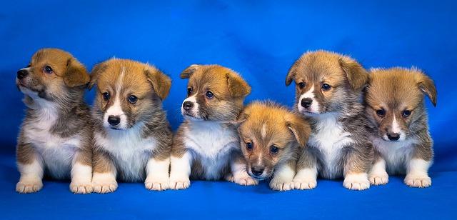 Corgi: che razza di cane è, caratteristiche e curiosità
